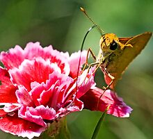 Fiery Skipper by Otto Danby II
