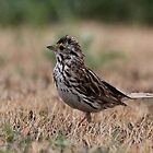 Savannah Sparrow by JMcCombie
