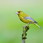 Greenfinch by Margaret S Sweeny