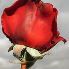 Red Rose Bud by DPalmer