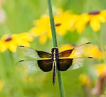 Widow Skimmer Dragonfly in the Backyard by Kenneth Keifer