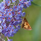 Skipper on Butterfly Bush by KathleenRinker