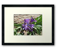 Dwarf Iris Framed Print