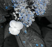 Blue Lace Hydrangea by Sharon Woerner