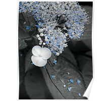 Blue Lace Hydrangea Poster