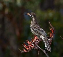 Wattle Bird - Has been pigging out on flax flowers by pcbermagui