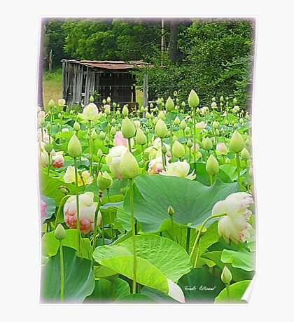 Lotus Pond full of Blooming Blossoms! Poster