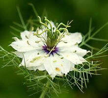 Nigella damascena by Rona Coupe