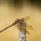 Common Darter by Sarah Walters