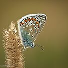Common Blue by Sarah Walters