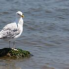 Seagull on Rock by Mark Fendrick