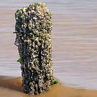 Barnacles and Shells by Mark Fendrick