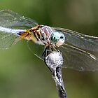 Dragonfly by Mark Fendrick