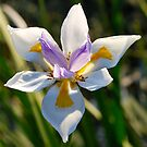 Irresistible Iris by Penny Smith