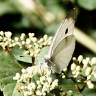 Small White Cabbage Butterfly by Mark Fendrick