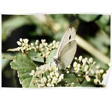 Small White Cabbage Butterfly Poster
