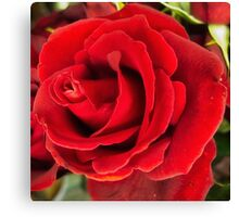 Beautiful rich red rose Canvas Print