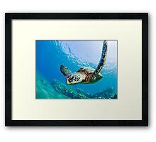 Green Sea Turtle over Reef Framed Print