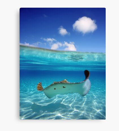 Stingray in Turquoise Water Canvas Print
