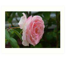 lovely pink rose Art Print