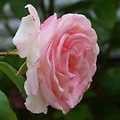 lovely pink rose by Rainydayphotos