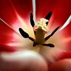 Red tulip  by Reinvention