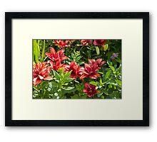 Lilies Aglow  Framed Print