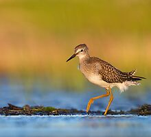 Lesser Yellowlegs at Sunrise... by Daniel Cadieux