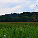 Corn Fields in Kentucky by Picture-It