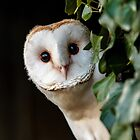 Barn Owl by Dave  Knowles