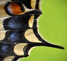 Swallowtail Wing by Kasia Nowak