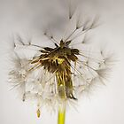 Dandelion by Ian Tilly