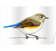 Red Flanked Blue Tail (Tarsiger cyanurus) Poster