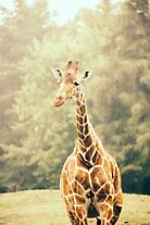 Giraffe Portrait by PatiDesigns