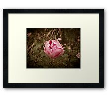 Autumn pink rose, vintage Framed Print