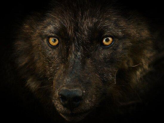Midnights Gaze - Black Wolf Wild Animal Wildlife by NaturePrints