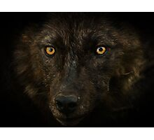 Midnights Gaze - Black Wolf Wild Animal Wildlife Photographic Print