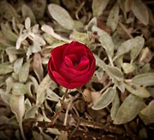 Autumn red rose, vintage by Reinvention