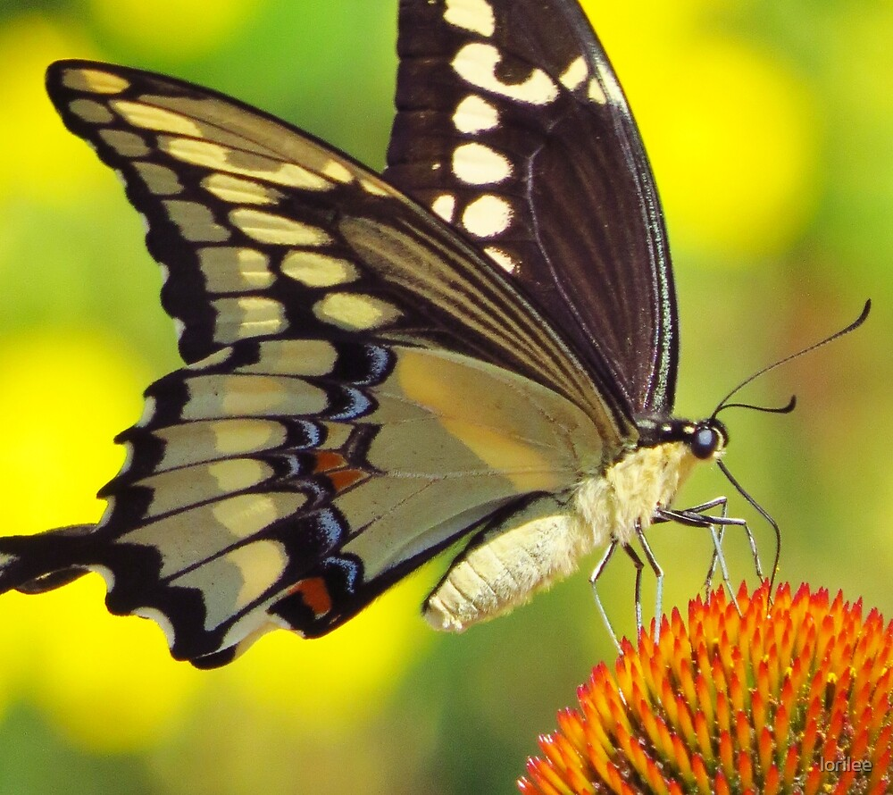 Swallowtail Beauty by lorilee