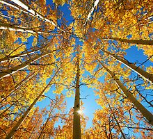 Aspen Tree Canopy by printscapes