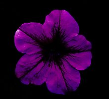 Purple Geranium by Scott Lyons