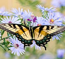 Eastern Tiger Swallowtail on Wildflowers by Bonnie T.  Barry