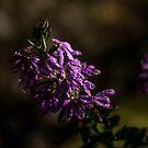 Violet by astrolabio