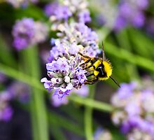 Bumble bee by CwmniBachGR