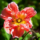 Poppy…. by Tracie Louise