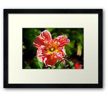 Poppy…. Framed Print