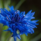 cornflower by tonysphotospot