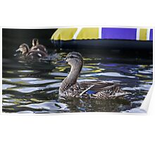 Fine Feathered Mother Duck Poster