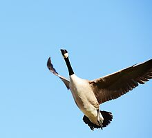 Goose 2 by PhotoMel