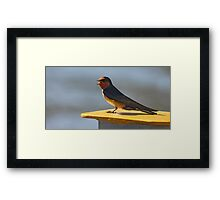 Singing Swallow Framed Print